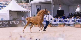 Championnat pur-sang Arabe 2019 à Menton
